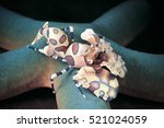 Harlequin Shrimp  Hymenocera...
