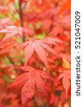 Small photo of Japanese Maple (Acer palmatum) with autumn leaves