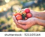 Farmer Holding Fresh Tomatoes...