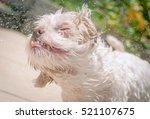White Dog Shaking Off Water...