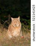 Eurasian Lynx In The Field ...