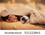 dog jack russell terrier and... | Shutterstock . vector #521223841
