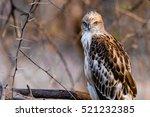 juvenile crested hawk eagle... | Shutterstock . vector #521232385