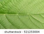 green leave texture for... | Shutterstock . vector #521253004