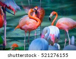 Group Of Pink Flamingos Feedin...