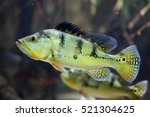 Butterfly Peacock Bass  Cichla...
