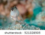 Small photo of Low depth of field image of a Steinitz' shrimpgoby fish (Amblyeleotris steinitzi) posing on the sand. Egypt, Red Sea, November.