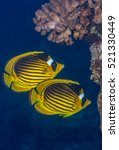 Red Sea raccoon butterflyfish (Chaetodon fasciatus) pair swimming near a coral outcrop. Red Sea, Egypt, November.