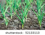 garlic   Shutterstock . vector #52133113