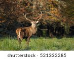 Large Majestic Red Deer Stag I...