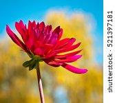 red flower in garden background....   Shutterstock . vector #521397181