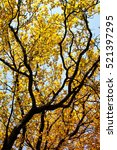 autumn background. tree with...   Shutterstock . vector #521397295