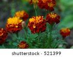 marigold | Shutterstock . vector #521399