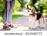 Stock photo young woman walking with beagle dog in the summer park obedient pet with his owner 521530777