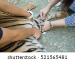 veterinarian treat the tiger in ... | Shutterstock . vector #521565481