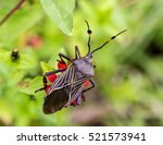 deadly kissing bug mexico.... | Shutterstock . vector #521573941