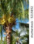 Caribbean Tropical Coconut Trees
