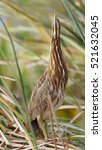 Small photo of American Bittern (Botaurus lentiginosus) hiding in a cattail marsh - Melbourne, Florida