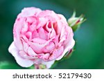 Beautiful pink rose with extreme shallow DOF. - stock photo