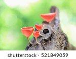 fungi cup red mushroom... | Shutterstock . vector #521849059