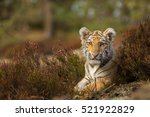 cute bengal tiger cub | Shutterstock . vector #521922829