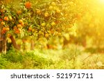 tangerine sunny garden with... | Shutterstock . vector #521971711