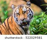 wild bengal tiger  panthera... | Shutterstock . vector #522029581