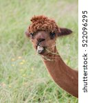 Small photo of Funny alpaca in summer