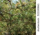 pine tree background in blu sky | Shutterstock . vector #522100861