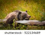 wild eastern slopes grizzly... | Shutterstock . vector #522134689