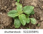Small photo of Weed and medicinal plant Amaranthus retroflexus (red-root amaranth, redroot pigweed, common amaranth) young sprout