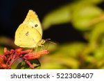 Clouded Sulphur Butterfly On A...