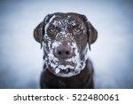Brown Labrador Retriever...