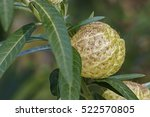 Small photo of Balloonplant fruit (Gomphocarpus physocarpus). Called Balloon cotton-bush, Bishop's ball, Nailhead and Swan plant also