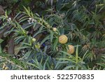 Small photo of Balloonplant (Gomphocarpus physocarpus). Called Balloon cotton-bush, Bishop's ball, Nailhead and Swan plant also
