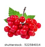 Bunches Of Red Viburnum On A...