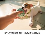 Stock photo dog baby jack russell terrier playing ball jack russell terrier prod the ball from the party 522593821