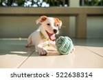 Stock photo dog baby jack russell terrier playing ball jack russell terrier dog with teeth 522638314