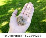 Snail In Male Hands.