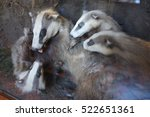 natural history museum badgers | Shutterstock . vector #522651361