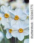 Small photo of Narcissus Aflame, white petal daffodil with a small red trompet an yellow center (Narcissus poeticus)