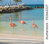 flamingos on the aruba beach.... | Shutterstock . vector #522662227