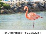 flamingos on the aruba beach.... | Shutterstock . vector #522662254