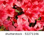 pink azalea flowers background | Shutterstock . vector #52271146