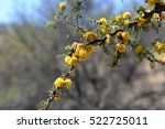 Small photo of Beautiful flowers on a Chilean thorn tree (Acacia caven).