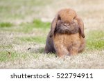 new born rabbit or cute bunny... | Shutterstock . vector #522794911