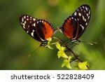 tropical butterflies dido... | Shutterstock . vector #522828409
