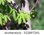 Small photo of Trunk of the Young Chestnut with new green escapes in the spring. Juicy green leaves of the Chestnut in the spring. The background is vegetable. Castanea. Fagaceae Family.Castaneoideae.Fagales
