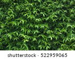 leaves wall texture. natural... | Shutterstock . vector #522959065