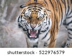 Small photo of Tiger growling aggression directly